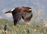 Harris's Hawk (F)