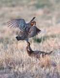 Greater Prairie Chickens