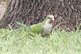 First Monk Parakeets in Zapata, TX