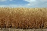 2013 Colorado Wheat Crop.