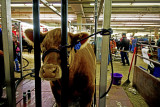 The cow salon. National Western Stock Show.