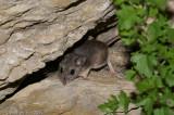 White-ankled MousePeromyscus pectoralisCrockett Co., Texas