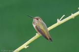 Rufous Hummingbirdfemale