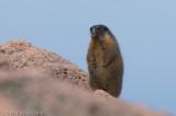 Yellow-bellied MarmotMarmota flaviventris