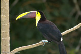 Woodpeckers, Toucans and Barbets