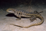 Leiocephalus species