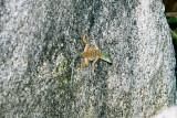 Petrosaurus thalassinusSan Lucan Rock Lizard