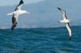 Albatrosses and Mollymawks