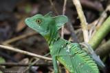 Iguanas and Relatives