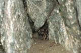 Banded Gila MonsterHeloderma suspectum cinctum