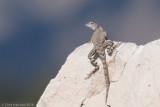 Cophosaurus texanusGreater Earless Lizard