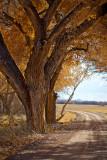 November Cottonwoods