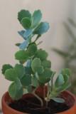 Pelargonium and others