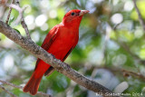 Summer Tanager