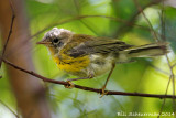 Prairie Warbler, young