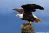 Eagle at Viera