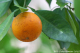 Orange tree in wild