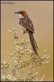 Rufous-eared Warbler (Malcorus pectoralis)