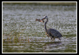 Great Blue Heron/Grand Héron