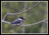 Belted Kingfisher/Martin-pêcheur d'Amérique