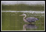 Great Blue Heron/Grand heron