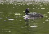 Common Loon/Plongeon huard