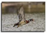 Wood Duck / Canard branchu_0704.jpg