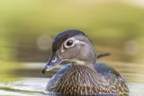 Wood Duck / Canard branchu_3656.jpg