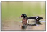 Wood Duck / Canard branchu_1863.jpg