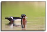 Wood Duck / Canard branchu-IMG_2085.jpg