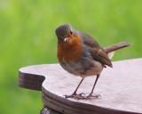 A robin, isn't it?