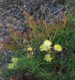 Isopogon anethifolius