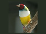Caged Gouldian Finch