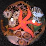 Atlantic Starfish  Size: 1.71  Price: SOLD