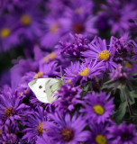 Cabbage White-2.jpg