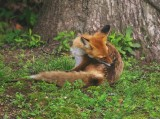 Missouri Red Foxes 052613