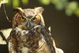 great_horned_owl_