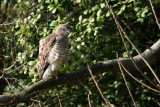 broad-winged_hawk