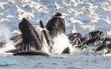 Kenai Fjords National Park Humpback Whales – Alaska