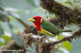 Red-headed Barbet (Male)