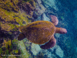 Pacific Green Turtle
