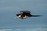 Great Frigatebird - Juvenile