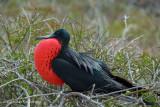 Magnificent Frigatebird (Adult Male)
