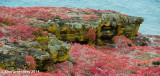 Sesuvium  on Mossy Volcanic Cliffs