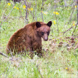 Cinnamon Black Bear- National Bison Range MT