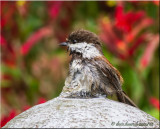 Chestnut-backed Chickadee on fountain