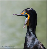 Double-crested Cormorant, breeding plumage