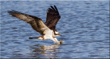 Osprey picking up nesting material