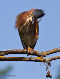 Green Heron in danger