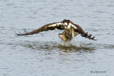 Osprey with trout - 1